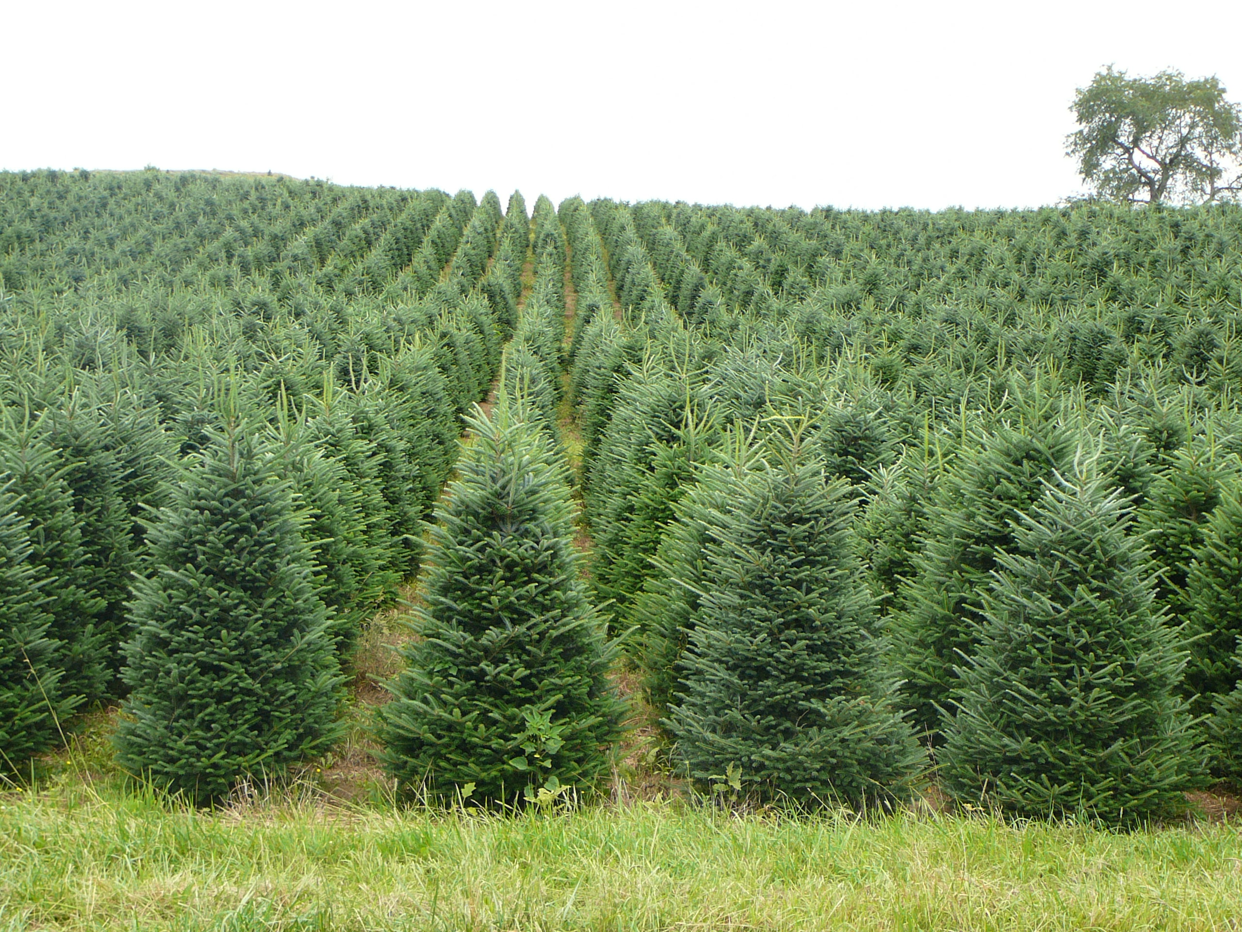 Christmas Tree Farms In Nc
